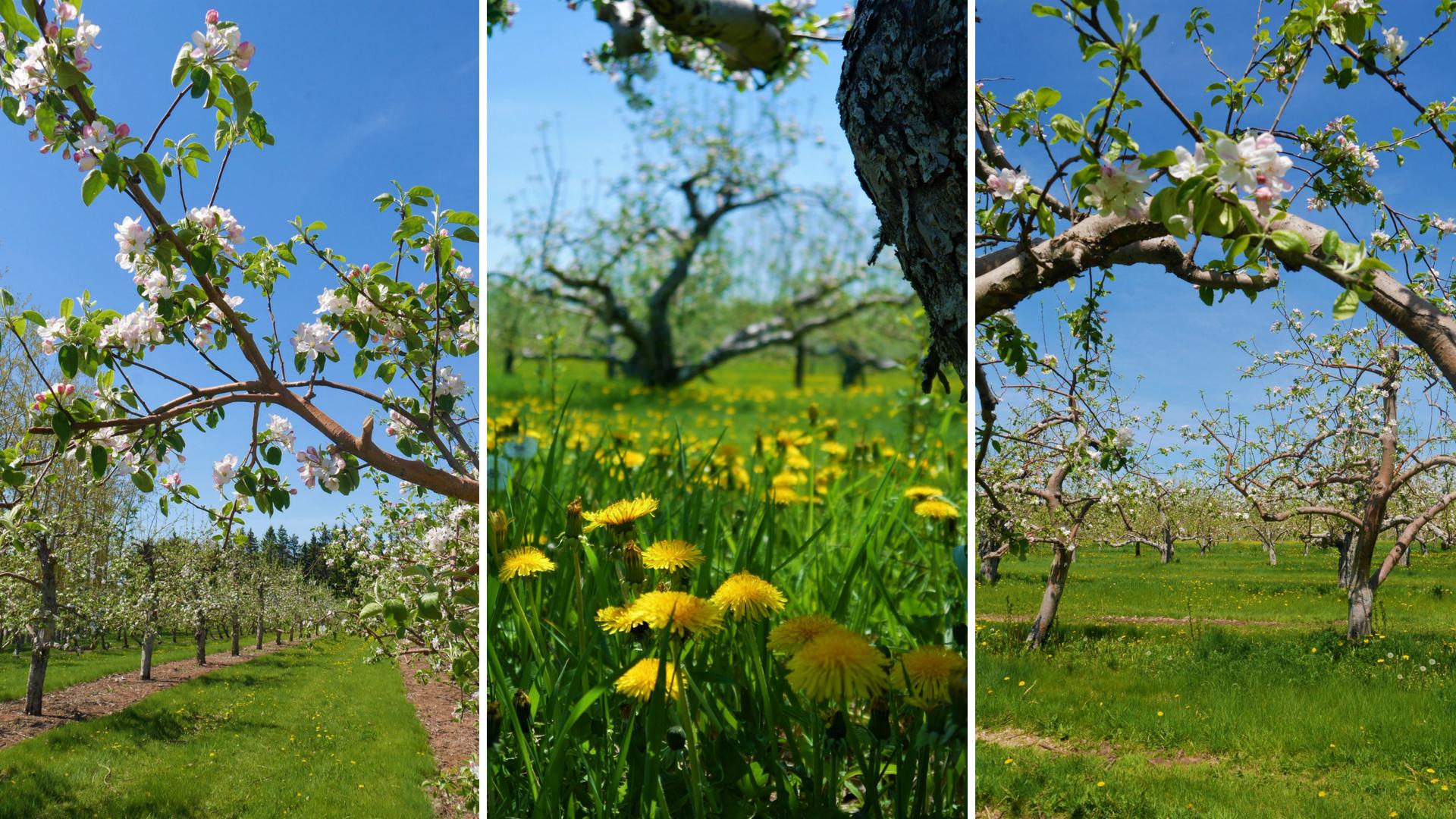fleurs pommiers verger belliveau