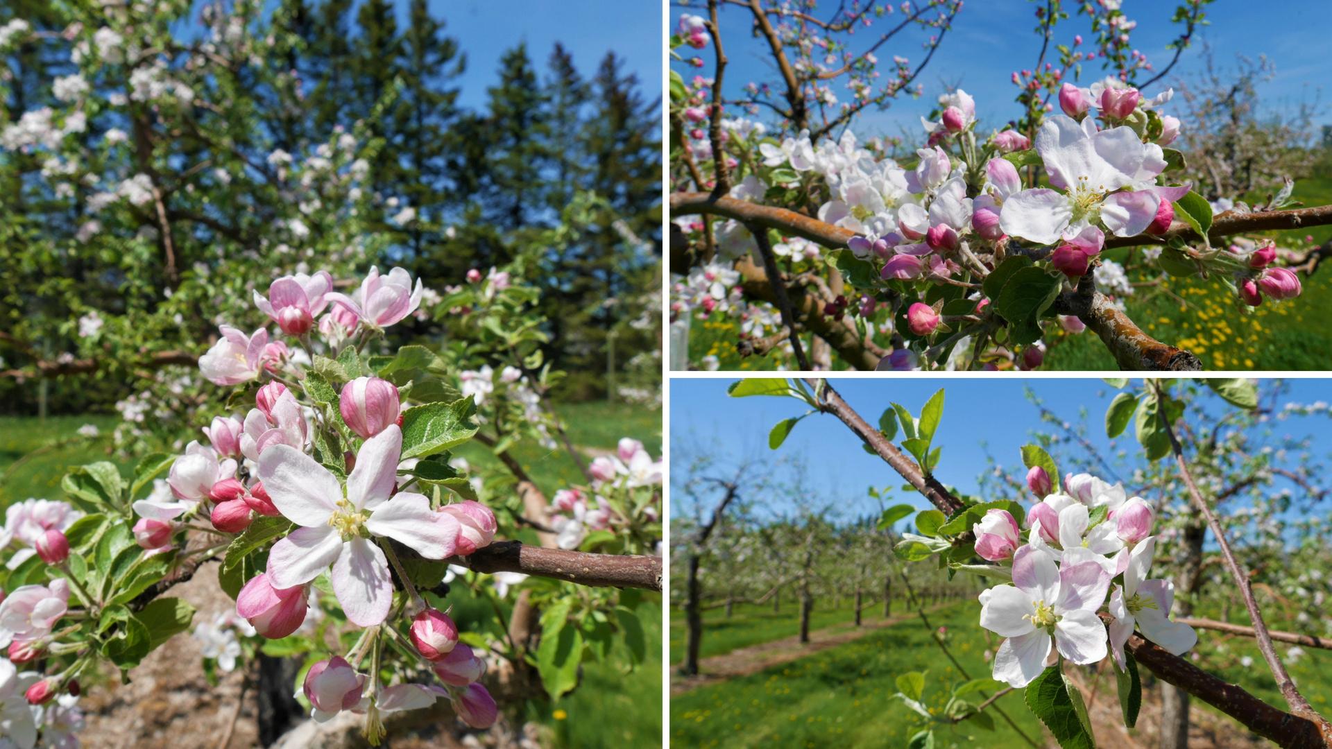 pommiers fleur verger belliveau blog voyage