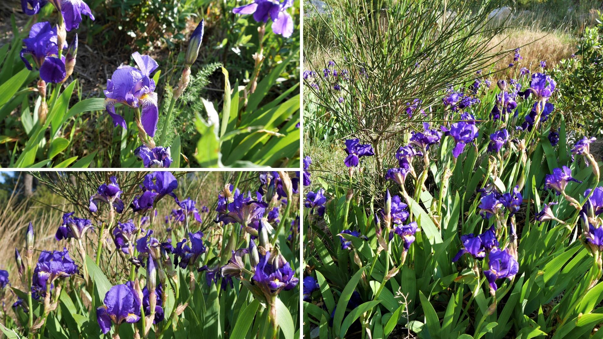baux de provence iris fleurs Van Gogh printemps blog voyage france arpenter le chemin