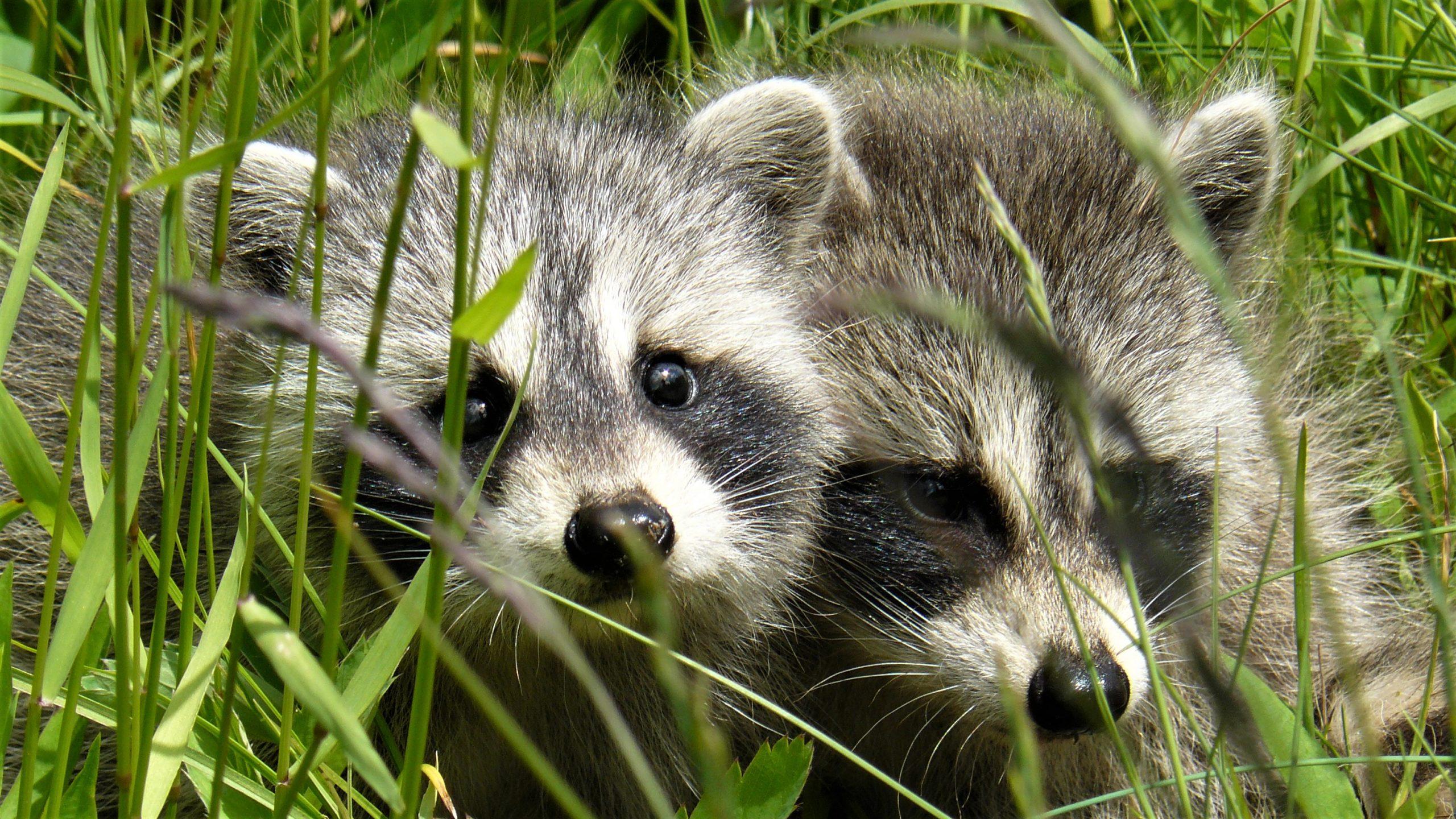 Baie de Fundy ratons-laveurs voir faune canada