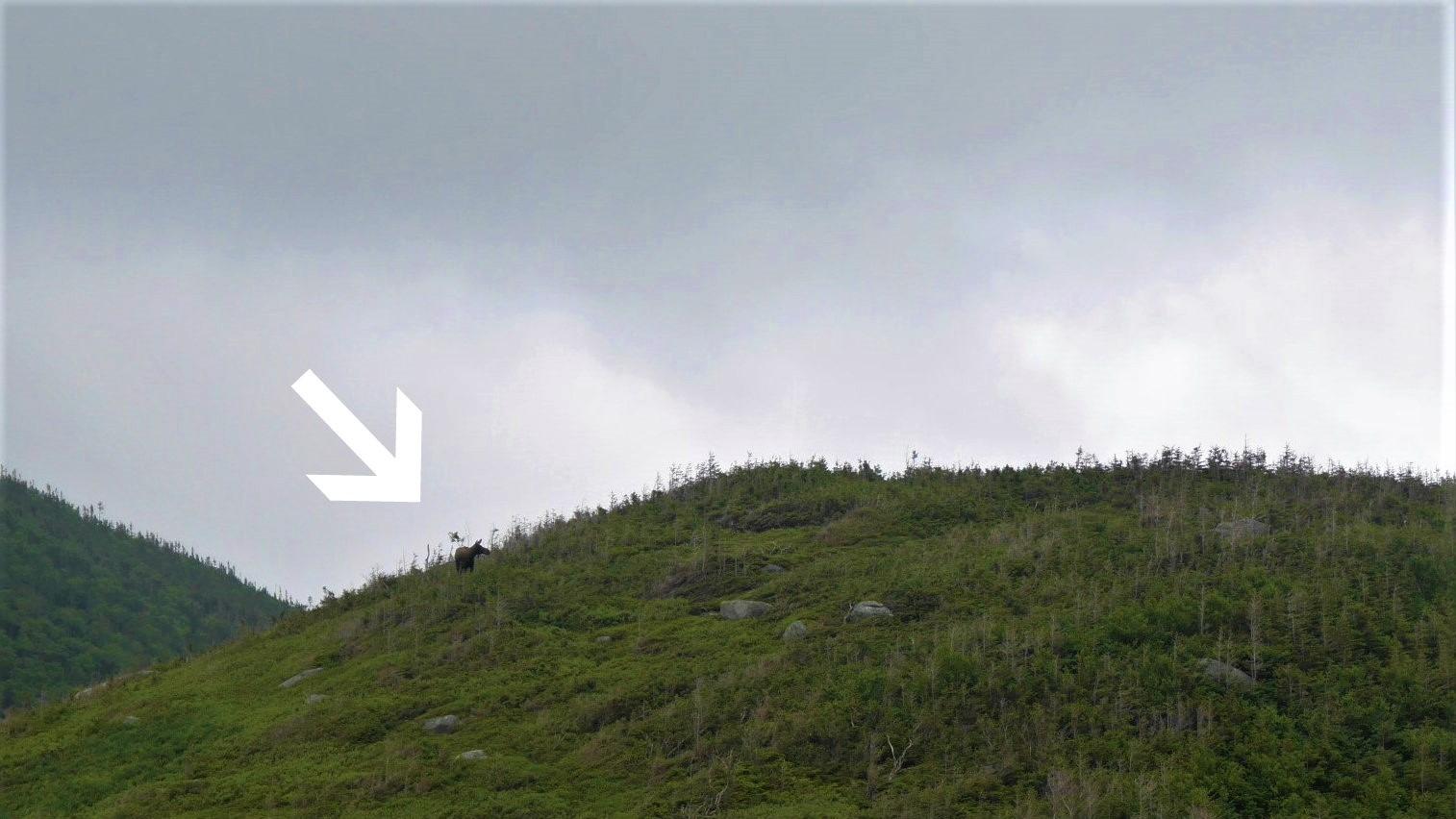 Terre-Neuve orignaux road-trip Canada